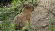 Stock Video Footage of Capybara.