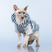 Stock Photo of peterbald cat in hoody
