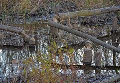 beaver gnawed trees - stock photo