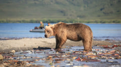 Bears fishing for salmon Stock Footage