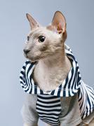 Peterbald cat in hoody Stock Photos