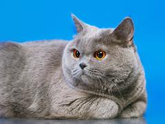 british shorthair cat - stock photo