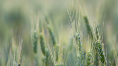 Cereal wheat plants move in spring wind Stock Footage