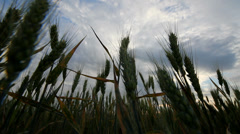 Mature wheat cereals plant and dark sky, up view Stock Footage