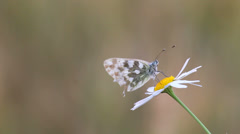 Delicate butterfly rest on beautiful flower, ant move on stem, blur background Stock Footage