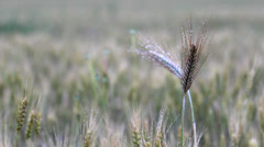 Mature cereal plant on ripe grain field, gray view Stock Footage