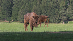 Two molt bison graze on spring forest Stock Footage