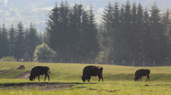 Herd of aurochs graze near forest - stock footage