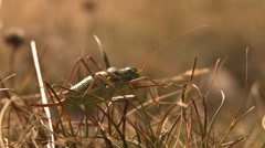 Long horned  grasshopper mimicry Stock Footage