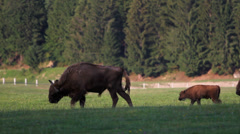 Herd of aurochs, european bisons, adults and baby bison walk on green field - stock footage