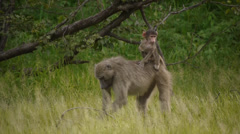 baboon with offspring 1 - stock footage