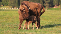 Baby and mother aurochs, european bison, feed on green field, baby nurture  Stock Footage