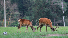 Stock Video Footage of Two stag graze together in green forest