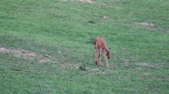 Baby deer walk on nature Stock Footage