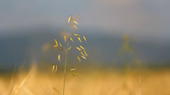 Focus on one cereal plant, yellow grain culture in background and blur sky - stock footage