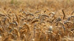 Good harvest, yellow mature cereals culture Stock Footage