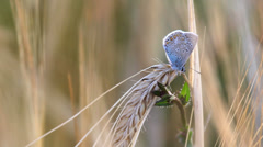 Splendid view, delicate blue butterfly rest on cereal blade, wheat culture Stock Footage