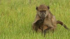 Baboon 3 Stock Footage