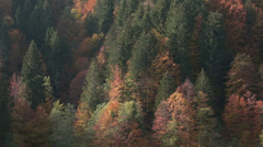 Pine tree forest in autumn | Italian alps | Static Shot Stock Footage