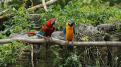 Colourful Macaws. Stock Footage