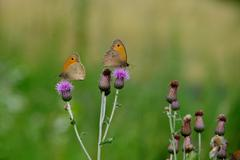 Butterflies on a thistle Stock Photos