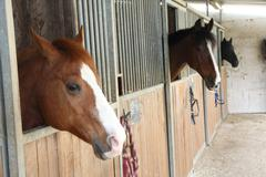 Mighty horse stallions in the enclosure of a barn of a riding school Stock Photos
