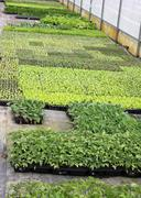 cultivation in a greenhouse for seedlings to plant on the garden and on the f - stock photo