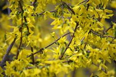 Tangle of beautiful flowers of yellow forsythia  bloom in spring Stock Photos