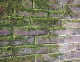 Stock Photo of old wet red brick wall exposed to the north with a lot of green moss
