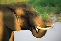 sun dappled african elephant - stock photo