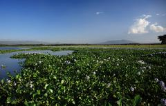 view over the water hyacinth - stock photo
