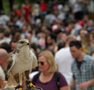 attentive raptor falco in a crowd of people control the situation - stock photo