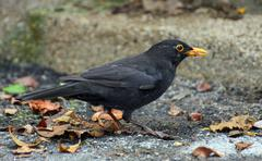 Black blackbird hunting with a worm in the yellow beak Stock Photos