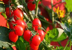red cluster tomato plant and the yellow flowers in the background - stock photo