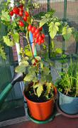 red tomatoes in pots on the terrace and a watering can - stock photo