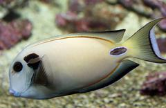 white tropical fish with veining swims in temperate seas - stock photo