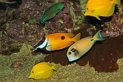 Group of tropical fish while swimming in algae and corals of warm south seas Stock Photos