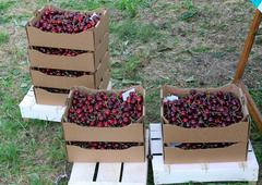 crates full and basket of great and juicy ripe red cherries on sale from gree - stock photo