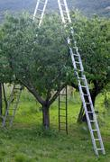 Orchard with aluminum ladder propped to fruit trees during harvesting of the Stock Photos