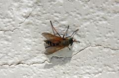 Outo hyönteinen, joka on risteytys mehiläinen ja ampiainen lentää Kuvituskuvat