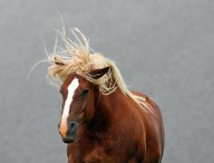 Brown horse stallion with the blonde mane agitated by the wind Stock Photos
