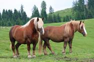 Stock Photo of two brown horses stallion with the blonde mane agitated by the wind