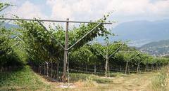 impressive vineyard grape growing and wine production - stock photo