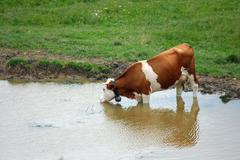 brown cow grazing in alpine mountain lake while drinking - stock photo
