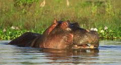 Hippo in the water Stock Photos