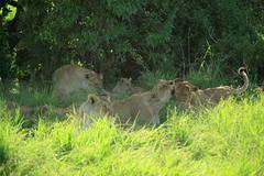 Lioness tending her cubs Stock Photos