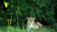 lioness resting under a tree - stock photo