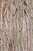 bark old willow texture - stock photo