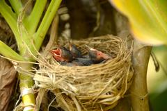 baby red-whiskered bulbul. - stock photo
