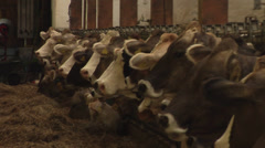 Dairy cattle. Cows eating hay in cowshed with their bells playing. Zoom out. Stock Footage